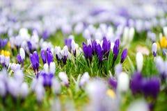 Ανθίζοντας λουλούδια κρόκων στο πάρκο μπλε σύννεφων πλήρες πράσινο τοπίο εστίασης πεδίων ημέρας οφειλόμενο λίγη μετακίνηση όχι εμ Στοκ φωτογραφίες με δικαίωμα ελεύθερης χρήσης