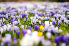 Ανθίζοντας λουλούδια κρόκων στο πάρκο μπλε σύννεφων πλήρες πράσινο τοπίο εστίασης πεδίων ημέρας οφειλόμενο λίγη μετακίνηση όχι εμ Στοκ Εικόνες