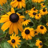 Ανθίζοντας λουλούδια μαύρος-Eyed-Susan (hirta Rudbeckia) Στοκ εικόνα με δικαίωμα ελεύθερης χρήσης