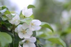 Ανθίζοντας λουλούδια της Apple Στοκ Εικόνες
