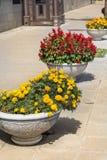 Ανθίζοντας λουλούδια φθινοπώρου για τη διακόσμηση οδών Στοκ Εικόνες