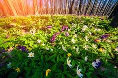 Ανθίζοντας λουλούδια anemone στο δάσος Στοκ εικόνα με δικαίωμα ελεύθερης χρήσης