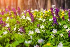 Ανθίζοντας λουλούδια anemone στο δάσος Στοκ Φωτογραφία