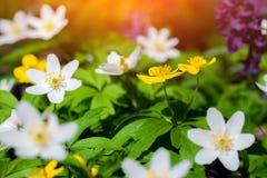 Ανθίζοντας λουλούδια anemone στο δάσος Στοκ Εικόνες