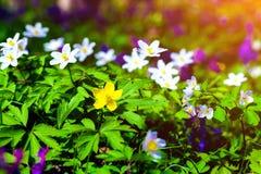 Ανθίζοντας λουλούδια anemone στο δάσος Στοκ φωτογραφία με δικαίωμα ελεύθερης χρήσης