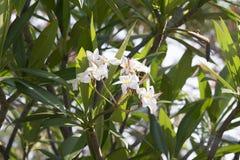 ανθίζοντας λουλούδια Frangipani Στοκ Εικόνα