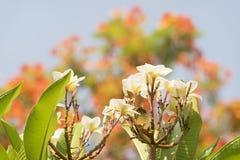 ανθίζοντας λουλούδια Frangipani Στοκ Φωτογραφίες