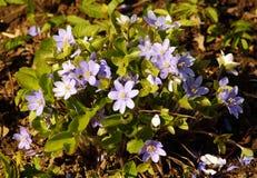 Ανθίζοντας λουλούδια hepatica την πρώιμη άνοιξη hepatica λουλουδιών Στοκ εικόνες με δικαίωμα ελεύθερης χρήσης
