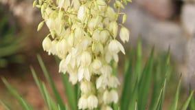 Ανθίζοντας λουλούδια Yucca στο δοχείο Χλωρίδα στο Μαυροβούνιο απόθεμα βίντεο