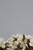 Ανθίζοντας λουλούδι άνοιξη στο γκρίζο υπόβαθρο Διάστημα για το κείμενο Στοκ Φωτογραφία