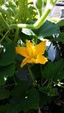 Ανθίζοντας λουλούδι κολοκύθας Στοκ Εικόνες