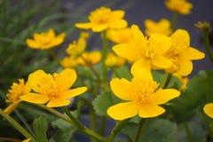 Ανθίζοντας λουλούδι σφαιρών Στοκ φωτογραφία με δικαίωμα ελεύθερης χρήσης