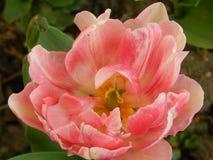 Ανθίζοντας λουλούδι τουλιπών Στοκ εικόνες με δικαίωμα ελεύθερης χρήσης