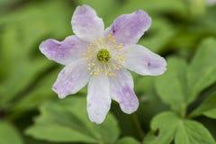 Ανθίζοντας λουλούδι του ξύλινου anemone (nemorosa Anemone) Στοκ εικόνα με δικαίωμα ελεύθερης χρήσης