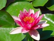 Ανθίζοντας λουλούδι λωτού πέρα από το πράσινο υπόβαθρο Στοκ Εικόνες