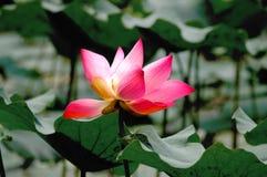 Ανθίζοντας λουλούδι λωτού φύσης Στοκ Φωτογραφίες