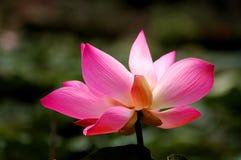 Ανθίζοντας λουλούδι λωτού φύσης Στοκ Εικόνες