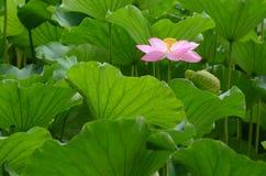 Ανθίζοντας λουλούδι λωτού Στοκ εικόνα με δικαίωμα ελεύθερης χρήσης