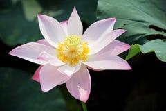 Ανθίζοντας λουλούδι λωτού στοκ εικόνες