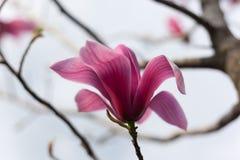 Ανθίζοντας λουλούδι magnolia Στοκ εικόνα με δικαίωμα ελεύθερης χρήσης
