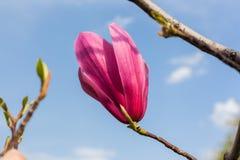 Ανθίζοντας λουλούδι magnolia Στοκ φωτογραφία με δικαίωμα ελεύθερης χρήσης