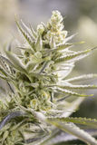 Ανθίζοντας οφθαλμοί μαριχουάνα (καννάβεις), φυτό κάνναβης Πολύ μεγάλη εσωτερική συγκομιδή ζιζανίων Στοκ Εικόνες