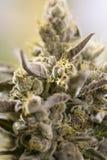 Ανθίζοντας οφθαλμοί μαριχουάνα (καννάβεις), φυτό κάνναβης Στοκ Φωτογραφία