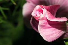 Ανθίζοντας οφθαλμός με τα φωτεινά ρόδινα πέταλα Μακρο λουλούδι Στοκ Φωτογραφία