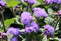 ανθίζοντας πασχαλιά λουλουδιών Στοκ εικόνα με δικαίωμα ελεύθερης χρήσης