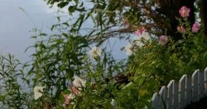 Ανθίζοντας πετούνια στον μπροστινό κήπο απόθεμα βίντεο