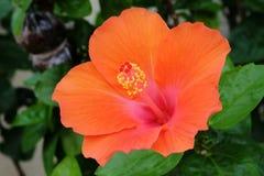 Ανθίζοντας πορτοκαλί hibiscus λουλούδι Στοκ εικόνες με δικαίωμα ελεύθερης χρήσης