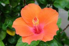 Ανθίζοντας πορτοκαλί hibiscus λουλούδι Στοκ Φωτογραφία