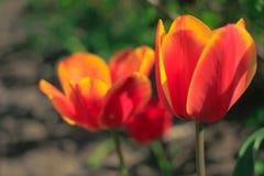 Ανθίζοντας πορτοκαλιές τουλίπες στον κήπο Στοκ Φωτογραφία