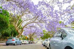 Ανθίζοντας πορφυρά δέντρα Jacaranda λουλουδιών σε McDougall ST, Kirribilli στην εποχή άνοιξης στοκ φωτογραφία με δικαίωμα ελεύθερης χρήσης