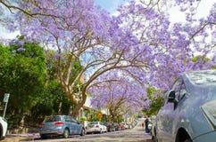 Ανθίζοντας πορφυρά δέντρα Jacaranda λουλουδιών σε McDougall ST, Kirribilli στην εποχή άνοιξης στοκ εικόνες με δικαίωμα ελεύθερης χρήσης