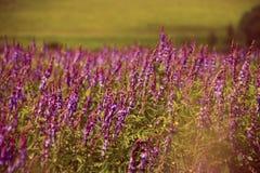 Ανθίζοντας πορφυρά λουλούδια Salvia στο θερινό τομέα Στοκ Εικόνες