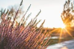 Ανθίζοντας πορφυρή ερείκη στο ηλιοβασίλεμα Στοκ εικόνες με δικαίωμα ελεύθερης χρήσης