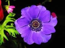 Ανθίζοντας πορφυρό λουλούδι anemone με τα μεγάλα πορφυρά πέταλα - λουλούδια άνοιξη Στοκ Φωτογραφία