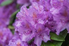 Ανθίζοντας πορφυρό rhododendron, λεπτομέρεια πετάλων στοκ εικόνες