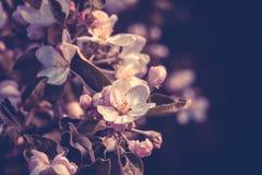 Ανθίζοντας που φιλτράρονται δέντρα της Apple άνοιξη Στοκ Φωτογραφία