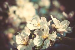 Ανθίζοντας που φιλτράρονται δέντρα της Apple άνοιξη Στοκ φωτογραφία με δικαίωμα ελεύθερης χρήσης