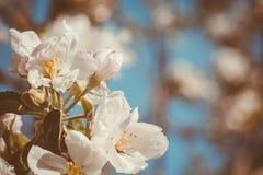 Ανθίζοντας που φιλτράρονται δέντρα της Apple άνοιξη Στοκ εικόνα με δικαίωμα ελεύθερης χρήσης