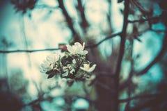 Ανθίζοντας που φιλτράρονται δέντρα της Apple άνοιξη Στοκ Εικόνες