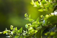 Ανθίζοντας πράσινες άμπελοι, κλάδοι, άνοιξη στον κήπο Στοκ Φωτογραφία