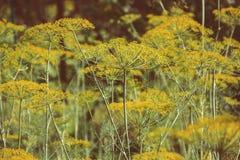 Ανθίζοντας πράσινο φυτό χορταριών άνηθου στον κήπο Anethum graveolens Κινηματογράφηση σε πρώτο πλάνο των λουλουδιών μαράθου στο θ Στοκ φωτογραφία με δικαίωμα ελεύθερης χρήσης