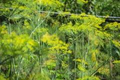 Ανθίζοντας πράσινο φυτό χορταριών άνηθου στον κήπο Anethum graveolens Κινηματογράφηση σε πρώτο πλάνο των λουλουδιών μαράθου στο θ Στοκ Φωτογραφία