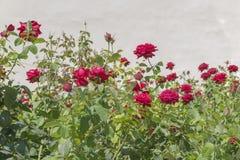 Ανθίζοντας ροδαλοί θάμνοι στον κήπο φράκτης Στοκ Φωτογραφίες