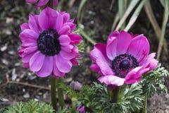 Ανθίζοντας ρόδινα λουλούδια - Anemone Coronaria Στοκ φωτογραφίες με δικαίωμα ελεύθερης χρήσης