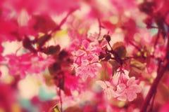 ανθίζοντας ρόδινη άνοιξη λουλουδιών Στοκ Εικόνες