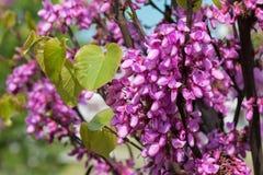 Ανθίζοντας ρόδινο δέντρο ακακιών με τα όμορφα λουλούδια την άνοιξη στοκ εικόνες